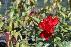 Al een eerste roos