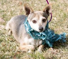 2 / 18    Petango.com – Meet Doris, a 4 years 11 months Chihuahua, Short Coat / Mix available for adoption in ANNA, IL Contact Information Address  1235 Spanish Bluff Road , Unit, ANNA, IL, 62906  Phone  (618) 893-2500  Website  http://cachecreekanimalrescue. com  Email  cachecreekanimalrescue@yahoo.c om