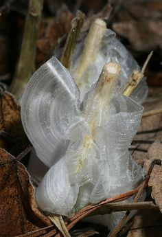 """Frost flower on stems of Verbesina virginica, called """"Frostweed"""". From Wikipedia: A frost flower is a name commonly given to a condition in which thin layers of ice are extruded from long-stemmed plants in autumn or early winter. The thin layers of ice are often formed into exquisite patterns that curl into """"petals"""" that resemble flowers."""