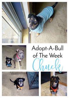 Adopt-A-Bull of The Week – Chuck in Massachusetts | http://www.thelazypitbull.com/adopt-a-bull-chuck-massachusetts/