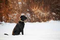 © Kathryn Schauer Photography, Labrador in winter, handsome dog