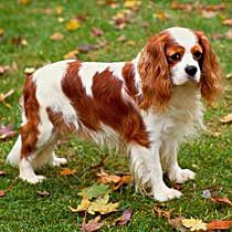 The English Toy Spaniel was developed in 17th-century Britain as a companion pet, most notably to King Charles II.  The Toy Spaniel is delightfully affectionate with dogs as well as humans, & very at home in an urban space.  It does not handle heat well & requires little exercise.