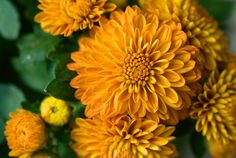 Mum's the Word Fall Mums, Mums The Word, Side Garden, Orange You Glad, Birth Flowers, Color Powder, Images Google, Autumn Garden, Fall Flowers