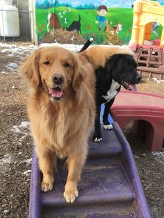 Jaxon loves Clara's fluffy tail! #PuppyLove #DoggieDaycare #GoldenRetriever #❤️