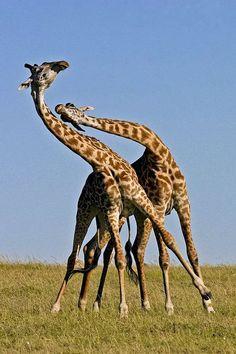 Les girafes du Tchad!