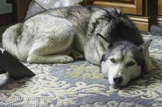 A Siberian Husky's owners biggest fear - the sound of silence. #dog #siberianhusky #husky