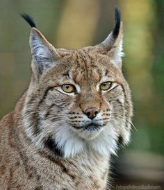 The owner of an exotic wild cat has to be calm, responsible and dedicated. Safari Animals, Animals And Pets, Cute Animals, Beautiful Cats, Animals Beautiful, Big Cats, Cats And Kittens, Lynx, Tiger World