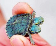Two headed turtle .. Twice the cuteness