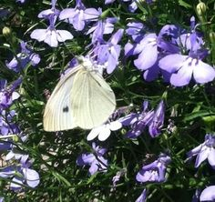 Twitter Little white butterfly visits Lobelia started from seed from @BotanicalSeeds! So many varieties! #gardenchat pic.twitter.com/xLDmrTx7hY