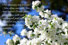 Omenankukat tuoksuvat, Apple-tree flowers