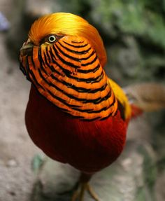 golden pheasant21 The 10 Most Beautiful Exotic Birds In The world