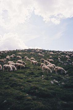 sheep by ana kras.