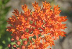 Butterfly Weed (CU) (Asclepias tuberosa) photo: Louise Hunt