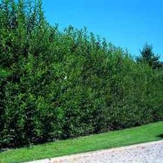 Willow Hybrid for privacy screen and wind block, FAST growing. Along N fence. Hedge Trees, Privacy Trees, Privacy Hedge, Privacy Landscaping, Backyard Privacy, Outdoor Landscaping, Trees To Plant, Outdoor Gardens, Landscaping Ideas