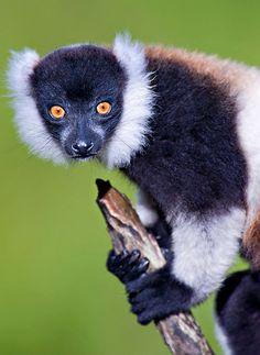 64e6a6e0d8b5 Black-and-white ruffed lemur