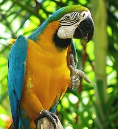 Loros Guacamayos en Peligro de Extinción http://www.mascotadomestica.com/articulos-sobre-aves/loros-guacamayos-en-peligro-de-extincion.html