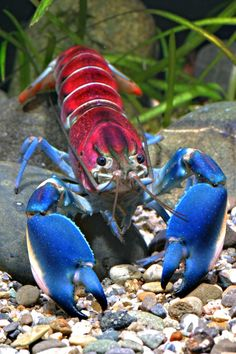 Colorful crayfish is popular with the global aquarium trade but species population is dwindling. Photo: Caters News