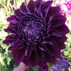 Dahlias are popular flowers in many a temperate garden, and exist in many cultivars. Learn how to grow dahlia plants so you can obtain the best blooms. Romantic Flowers, Flowers Nature, Black Flowers, Beautiful Flowers, Purple Dahlia, Dahlia Flowers, Growing Dahlias, Organic Mulch, Summer Plants