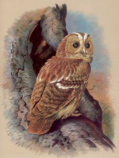 Tawny Owl by Basil Ede (b.1931)
