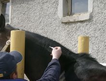 Tests Reveal Reliability of Microchips for Horse Identification