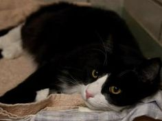 BO is an adoptable Domestic Long Hair Cat in Boston, MA.