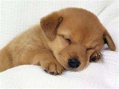 golden retriever dogs3 Golden Retriever Dogs