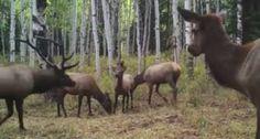 And So Begins Utah's Elk Rut - Wide Open Spaces