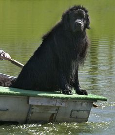 10 Cool Facts About Newfoundlands