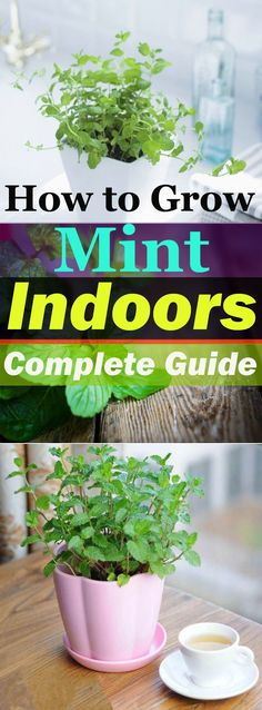 Growing Mint Indoors & How To Care It