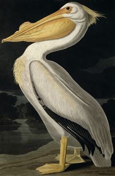 American White Pelican, from 'Birds of America', engraved by Robert Havell (1793-1878) published 1836 (colour litho) by John James Audubon (1758-1851)