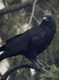 Corvid | Crow | Raven | Rook | La Corneille | Il Corvo | 烏 | El Cuervo | ворона | 乌鸦 |