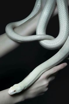 RE leucistic texas rat snake via Reptile Room Hello Ladies, me for Cute Snake Print Picture! Slytherin Aesthetic, Slytherin Pride, Loki Aesthetic, Hogwarts, Draco Malfoy Aesthetic, Slytherin House, Carla Tsukinami, Cute Snake, Character Aesthetic