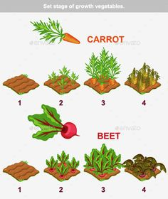 Buy Stage of Vegetables Growth by BabySofja on GraphicRiver. Set stage of growth vegetables. Carrot and beet in vector for playing a perspective. Package includes v. Planting Vegetables, Organic Vegetables, Growing Vegetables, Growing Herbs, Growing Garlic From Cloves, Plant Growth, Plant Care, Veggie Patch, Vegetable Garden Design