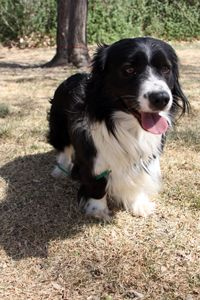 This is Larry, he is a very energetic and lovable border collie corgi mix ready for adoption from the Fremont County Humane Society!