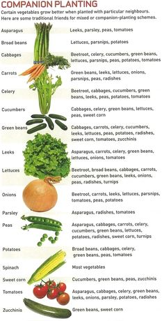 Companion planting- vegetable gardening ( uses companion planting to promote healthier and lush gardens! Companion planting - neat little infographic Companion planting chart (although annuals and perennials are intermixed) Give your veggies good companio Companion Gardening, Gardening Tips, Organic Gardening, Companion Planting Chart, Urban Gardening, Vegetable Companion Planting, Gardening Zones, Hydroponic Gardening, Raised Beds