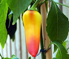 Heirloom Thailand Pepper Seeds Capsicum Annuum Garden Decor Plants Chili Seeds 100 Pcs Bonsai Tree Vegetable Good for Cooking Hot Banana Peppers, Stuffed Banana Peppers, Chilli Seeds, Pepper Seeds, Cooking Peppers, Chile, Capsicum Annuum, Ghost Peppers, Gardens
