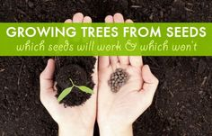 Growing trees from seeds: which seeds work, and which won't Growing Cherry Trees, Growing An Avocado Tree, Growing Tree, Cherry Tree From Seed, Growing Seeds, Permaculture, Farm Gardens, Outdoor Gardens, Organic Gardening