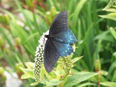 A 'Pipevine Swallowtail'   on Gooseneck Loosetrife...