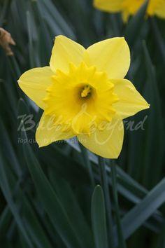 Daffodil - Dutch Master