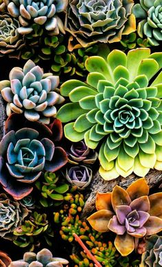 Perk Increase Your Garden With These Handy Tips - Easy Garden Plants - - Kleider - Hintergrundbilder Colorful Succulents, Planting Succulents, Garden Plants, Planting Flowers, Vegetable Garden, Propagating Succulents, Garden Soil, Flowers Garden, Succulents Wallpaper