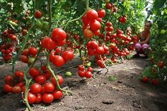 How to care for tomatoes so that there is a good crop in the open ground? Farm Gardens, Outdoor Gardens, Tomato Tree, Summer House Garden, Heirloom Tomatoes, Small Farm, Growing Plants, Fruit Trees, Fruits And Vegetables