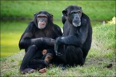 Chimpanzees and Humans Share Personality Traits : The Nonhuman ...