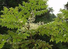 健康一級棒: 楤木的功效 常見植物的秘密現在告訴你!!! 把健康分享給大家吧