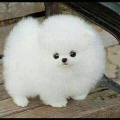 Pomeranian Teacup Dog