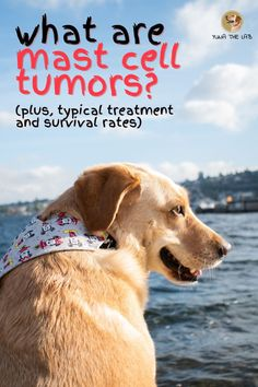 Do you notice a lump on your dog's skin? It may be a mast cell tumor. In this article we'll go over the basics of mast cell tumors and offer typical treatment methods and survival rates. Fun Facts About Dogs, Dog Facts, Mast Cell Tumor Dogs, Dog Cone, Dog Care Tips, Pomeranians, Pet Health, Exotic Pets, Dog Owners