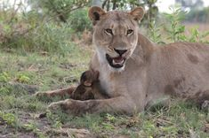 The story of the lioness and the baby baboon. The lioness softly picks up the baby baboon and drops it in front of her. Photo by Evan Schiller Lion Story, Baby Animals, Cute Animals, Animal Babies, Wild Animals, Tarot Gratis, Baboon, African Safari, Big Cats