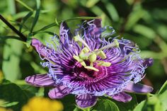 passion fruit flower - Google Search