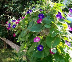 Three Dogs in a Garden: The Garden Of Bud and Linda Adlams, Huttonville Ontario