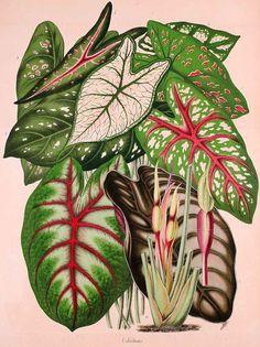 """Olímpia Reis Resque: Tajá: uma planta interessante """"...Todos os tajás tem história, diz Nunes Pereira: O espírito ou a alma de um pássaro se encarna numa dessas espécies de aráceas: o """"tajá que pia""""; e o tamba-tajá, que está ligado à vida  amorosa da gente simples e romântica da Amazônia..."""". Texto de M. Nunes Pereira (1892-1985). Ilustração em: La Belgique horticole. Journal des jardins et vergers. v. 11, t. 1, 1861.  www.plantillustrations.org. Leia mais em olimpiaresque.blogspot.com"""