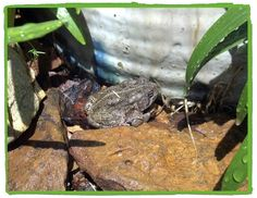Toad by the pottery.  Southern Illinois
